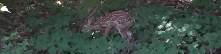 baby deer - cropped