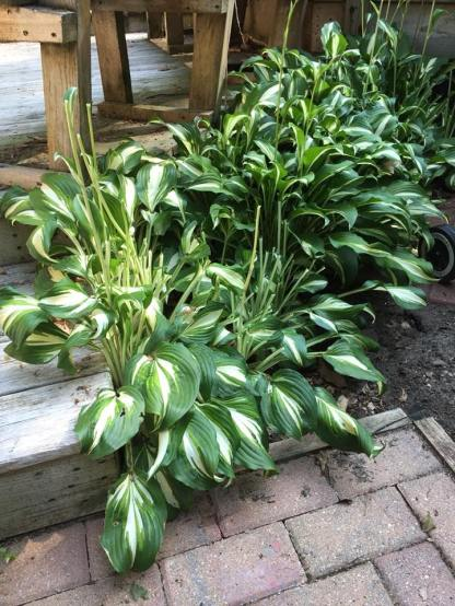 Hosta before